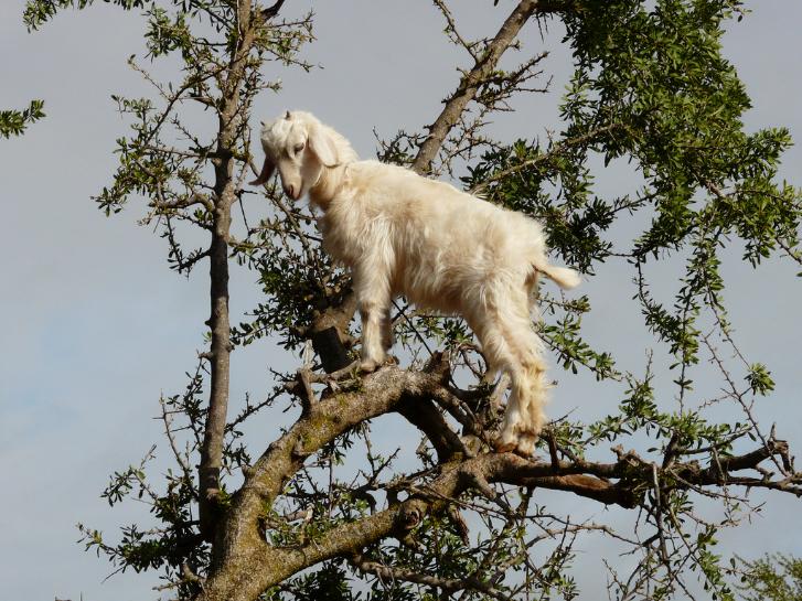 tree goats 1