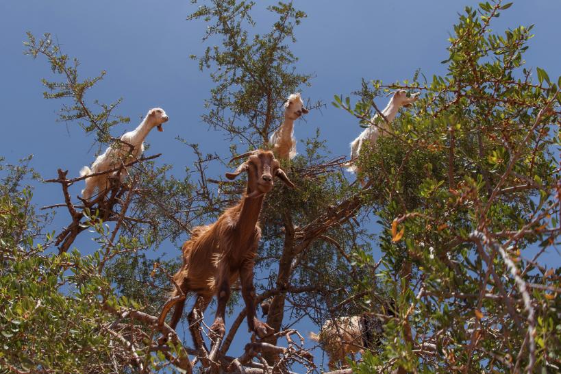 tree goats 2