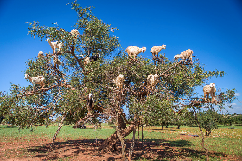Just Kidding Around  Meet The Tree Goats Of Morocco