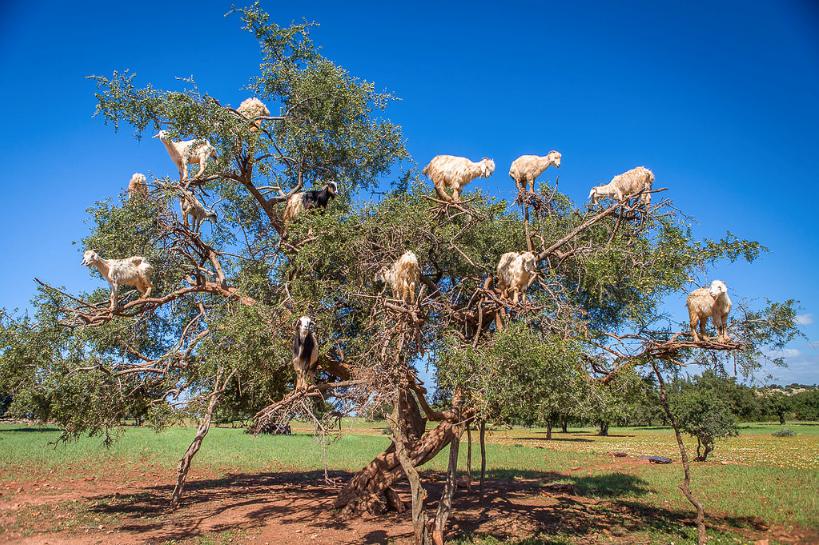 tree goats 3