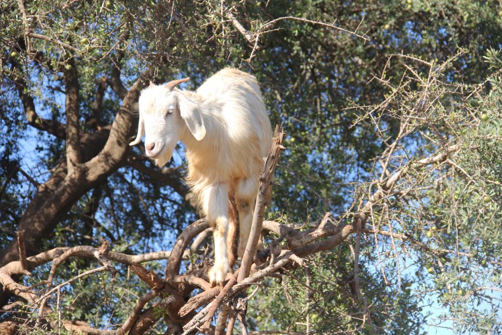 tree goats 4