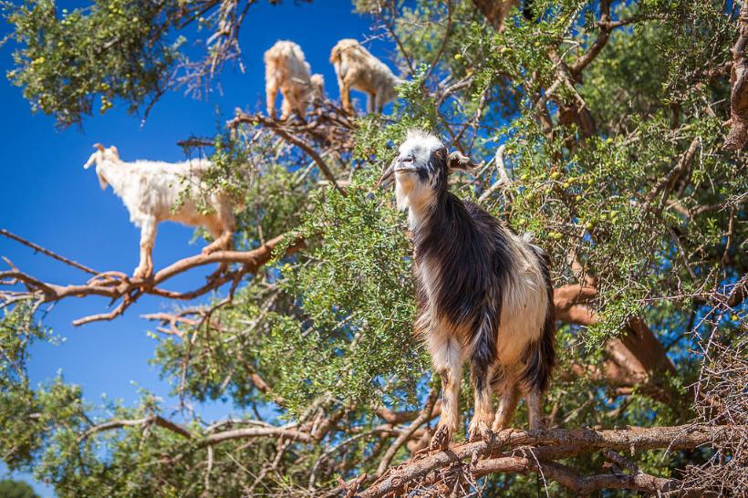 tree goats 5