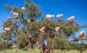 tree-goats-header